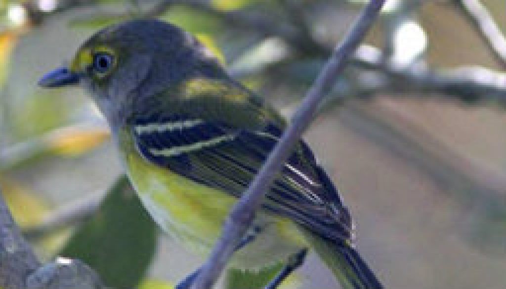 White Eyed Vireo featured