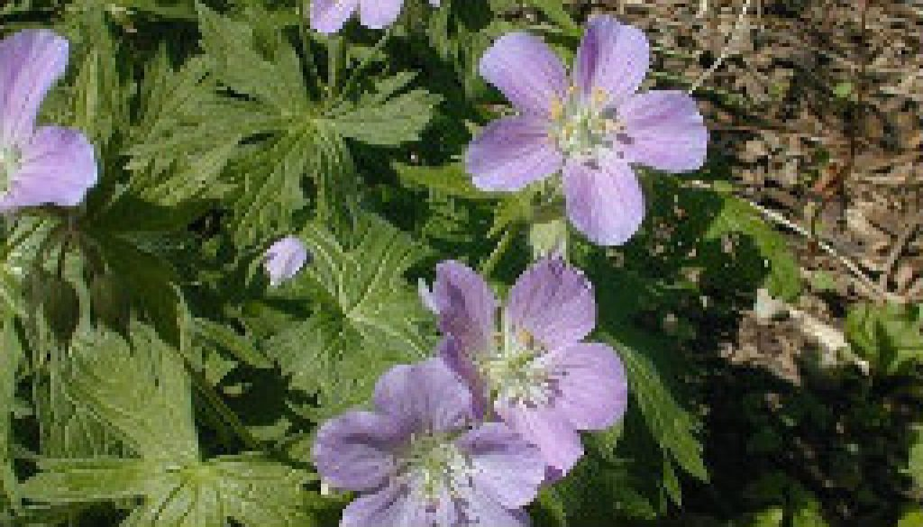 Wild Geranium featured