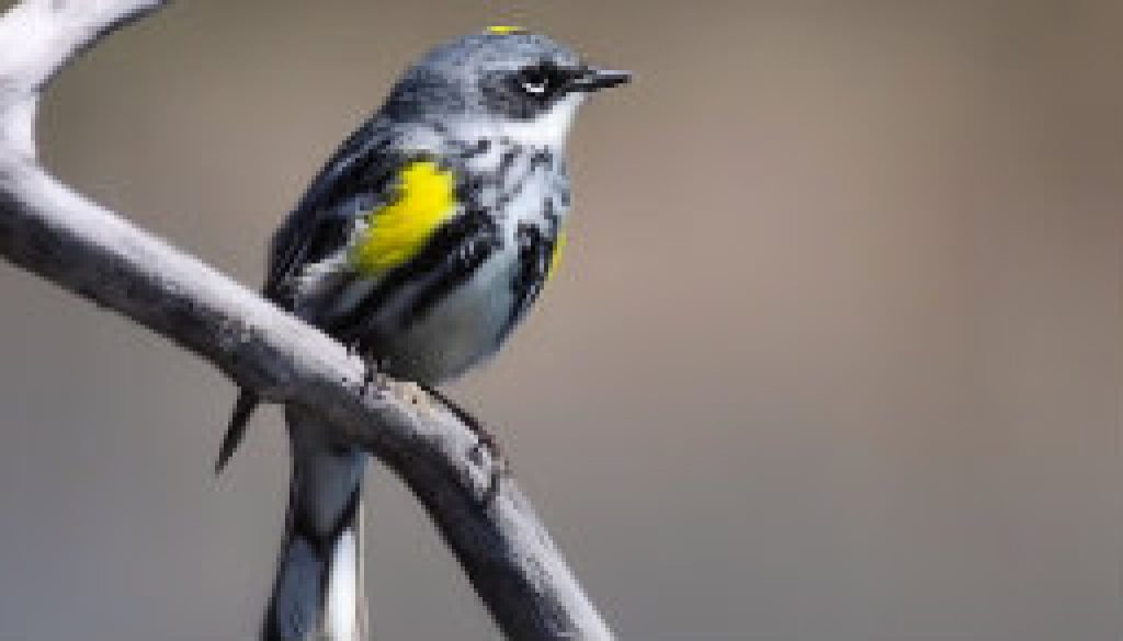 Yellow-Rumped Warbler featured