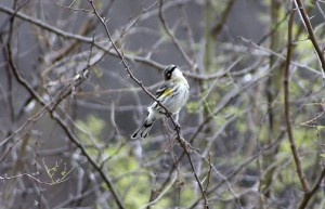 Yellow Rumped warbler coming through
