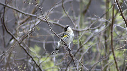 Yellow Rumped warbler coming through featured