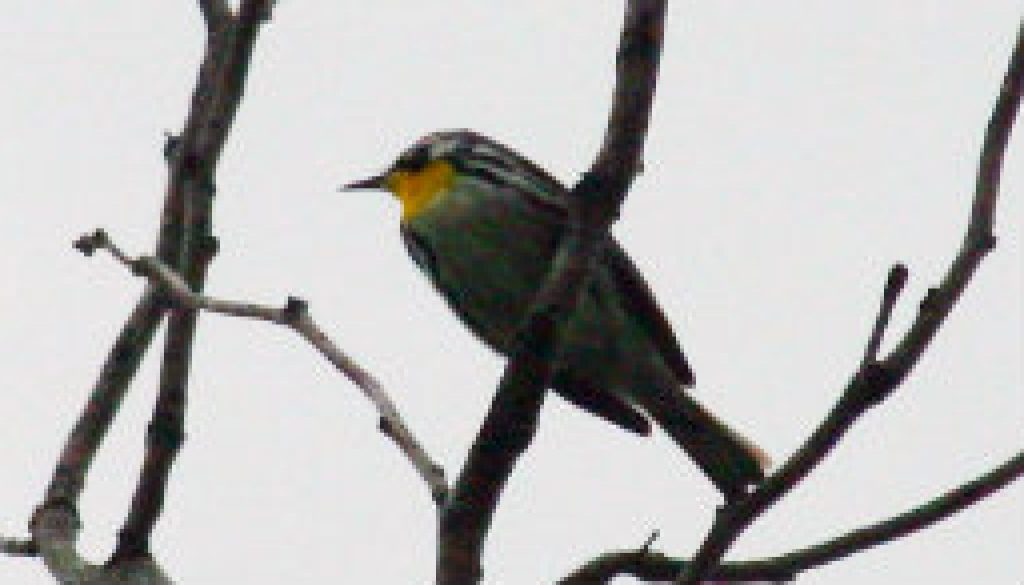 Yellow Throated Warbler featured