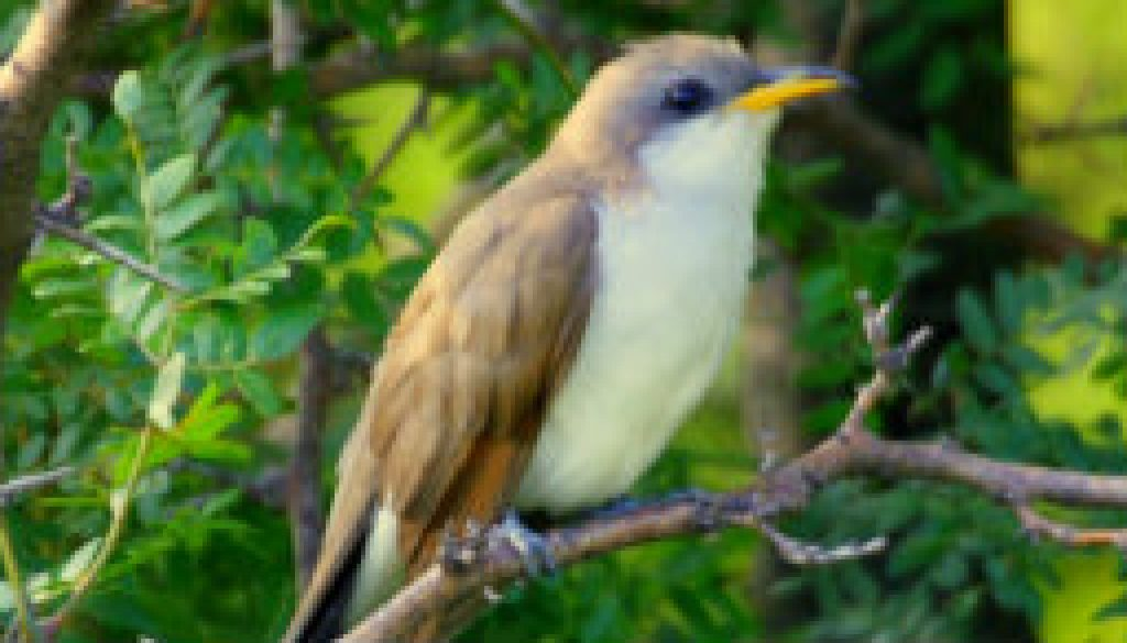 Yellow billed Cuckoo featured