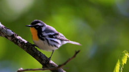 Yellowthroat Warbler featured