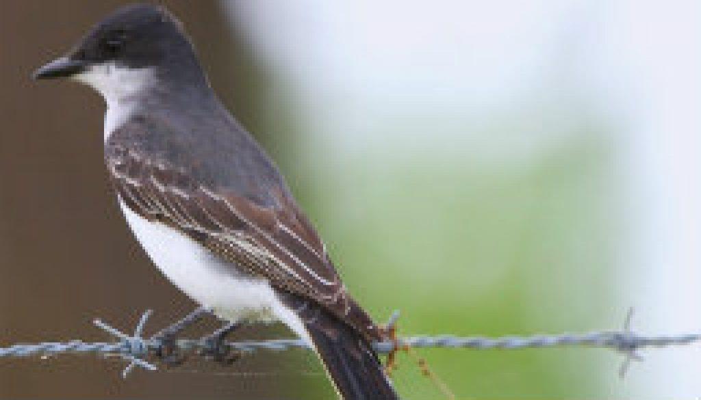 eastern kingbird featured