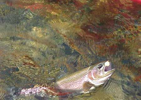 Missouri Trout Fly Fishing Tips