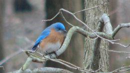 A few Bluebird shots from mid-April 2009 featured
