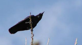 American Crow featured