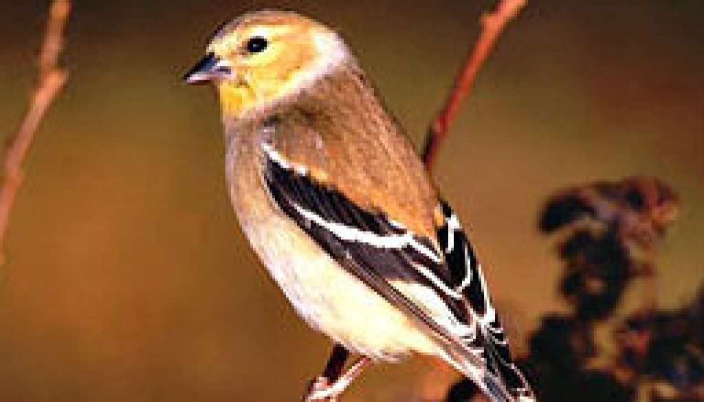 American Goldfinch featured