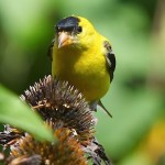 American Goldfinches foraging on Coneflower heads