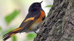 American Redstart - a ROLF resident featured