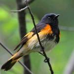 American Redstart - a ROLF resident
