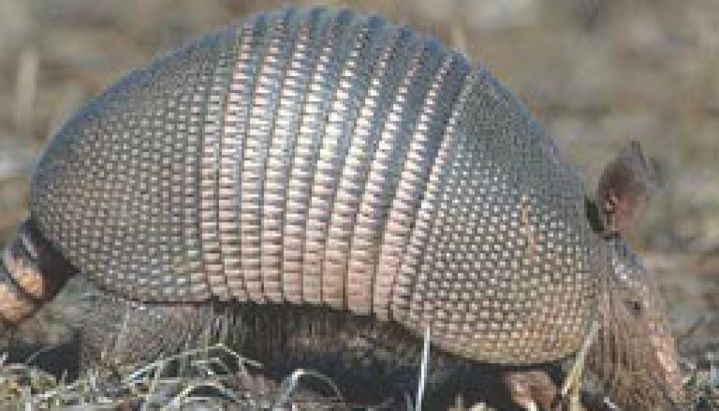 Armadillos and Roadrunners featured