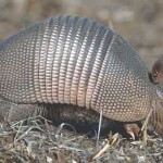 Armadillos and Roadrunners