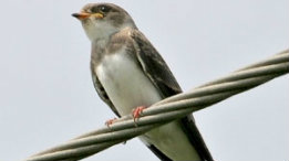Bank swallow featured