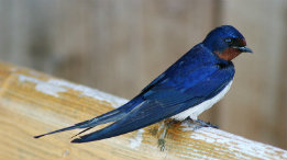 Barn Swallow featured