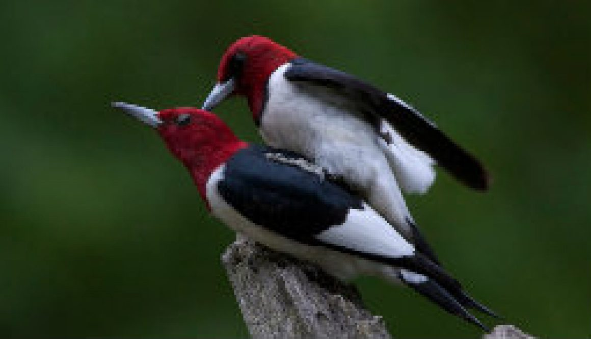 Beautiful mated pair of Redheaded woodpeckers featured