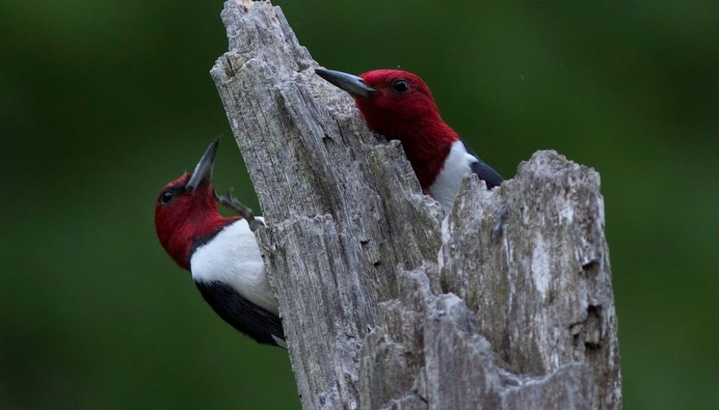 Beautiful mated pair of Redheaded woodpeckers