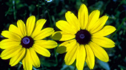 Black-Eyed Susans featured