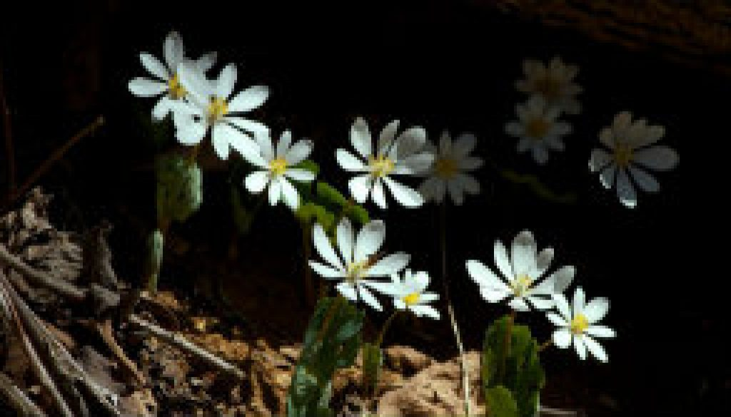Blood Root in bloom in Missouri featured