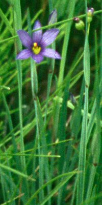 Blue Eyed Grass in ROLF spring trail