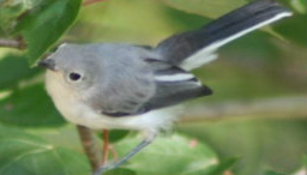 Blue Gray Gnatcatcher featured