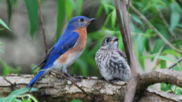 Bluebird fledglings featured