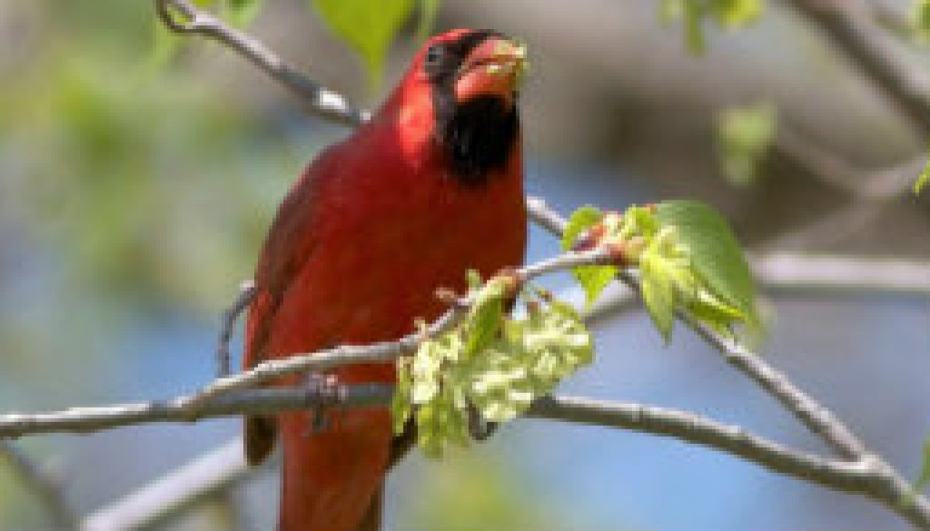 Cardinals are eating Elm bud seeds featured