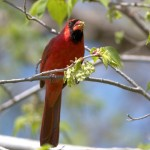 Cardinals are eating Elm bud seeds
