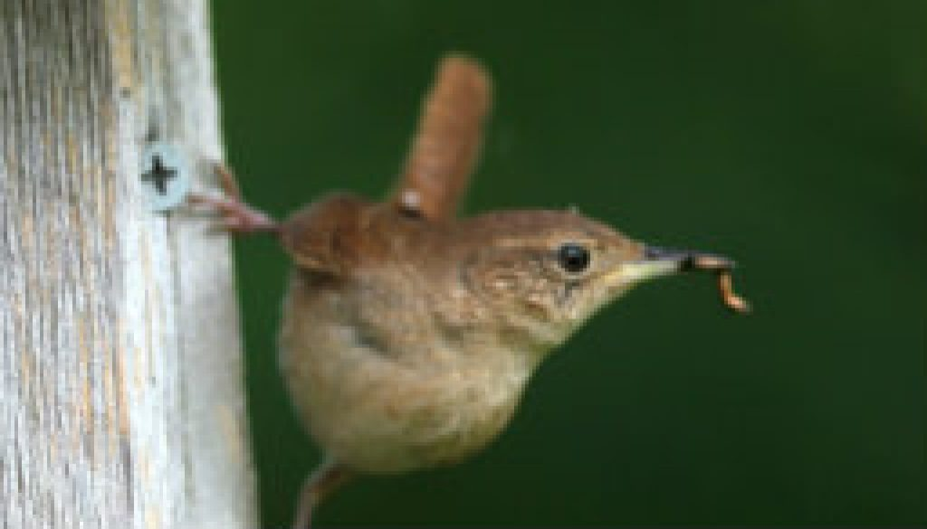 Carolina Wren April 17th nesting featured