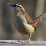 Carolina Wren April 17th nesting
