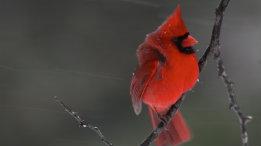 Cold Northern Cardinals feauterd