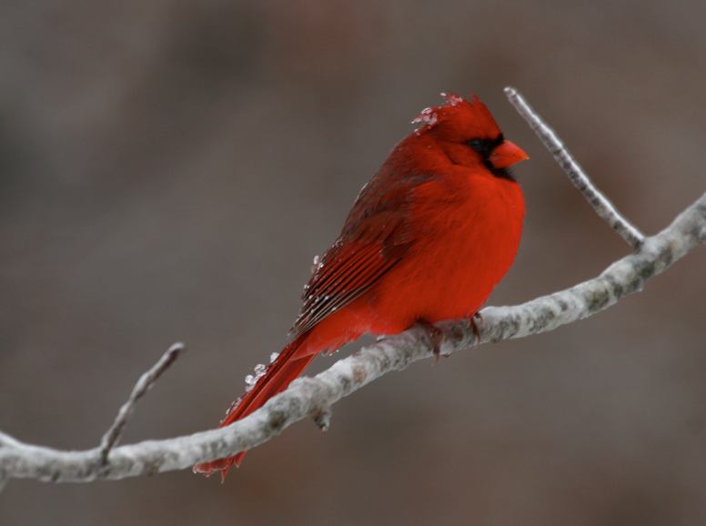 Cold Northern Cardinals