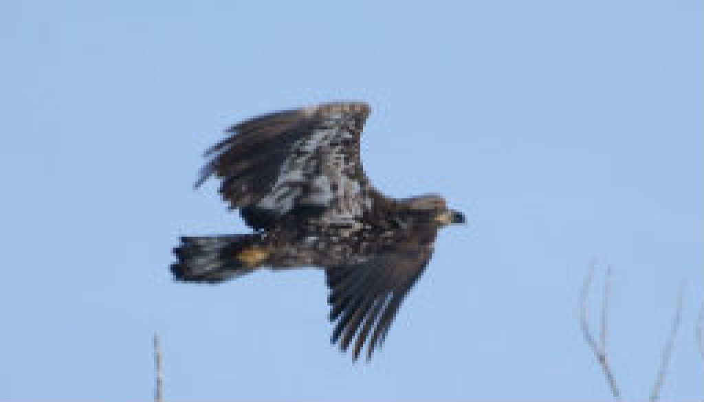Couple of Bald Eagle pictures from ROLF featured