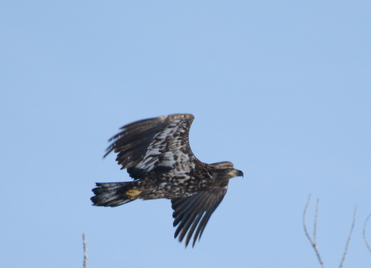 Couple of Bald Eagle pictures from ROLF