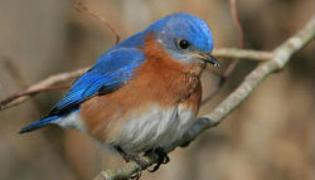 Eastern Bluebird featured