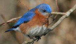 Eastern Bluebird featured