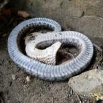 Eastern Hognose Snake1