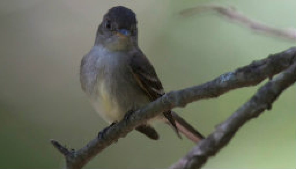 Eastern Wood Peewee in the summer shade featured