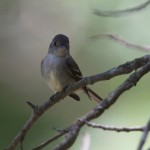 Eastern Wood Peewee in the summer shade
