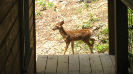 Fawn at Whispering Pines featured
