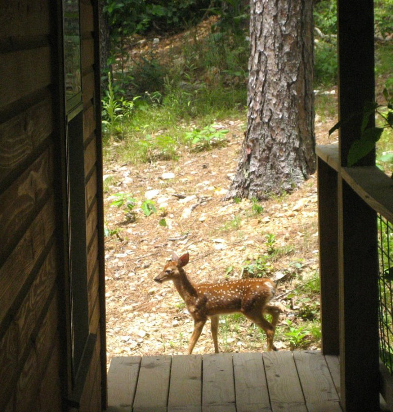 Fawn at Whispering Pines1