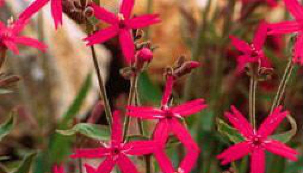 Fire Pinks on roadsides and rocky areas featured