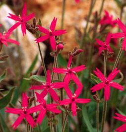 Fire Pinks on roadsides and rocky areas