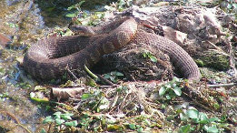 Good sized Northern Water Snake this M featured