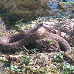 Good sized Northern Water Snake this May 2008