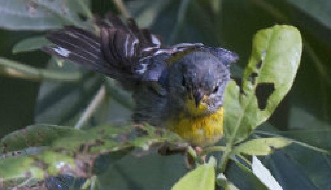 Hot Days -- Ozark Birds bathing featured