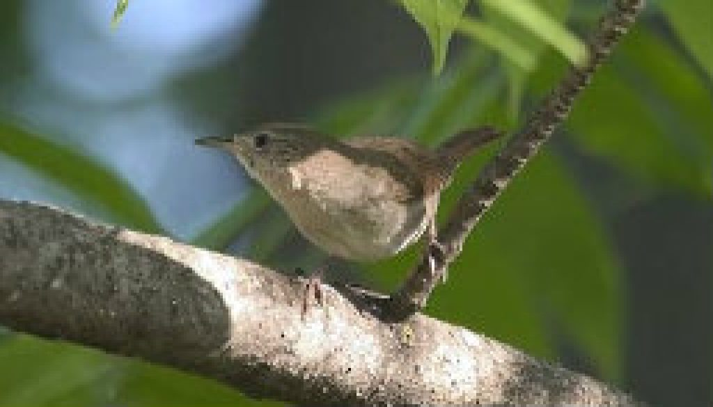 House Wren featured
