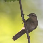 House Wren on a late June afternoon