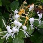 Invasive Honeysuckle versus the Whip Poor Will1
